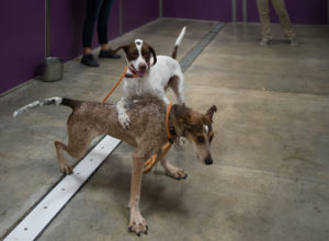 Dogs playing in Shor-Line T-Kennel small indoor play yard.